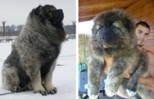 Caucasian Mountain Dog feat