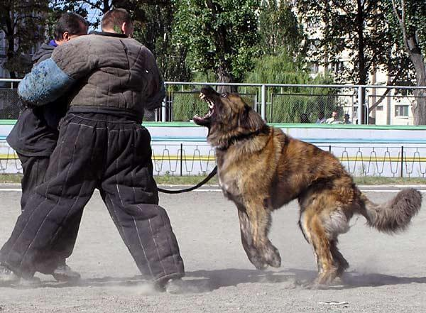 Caucasian Shepherd dog 3