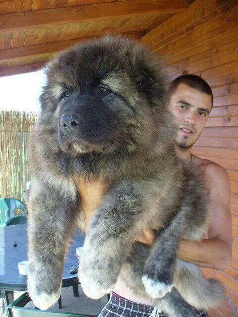 caucasian mountain dog 4