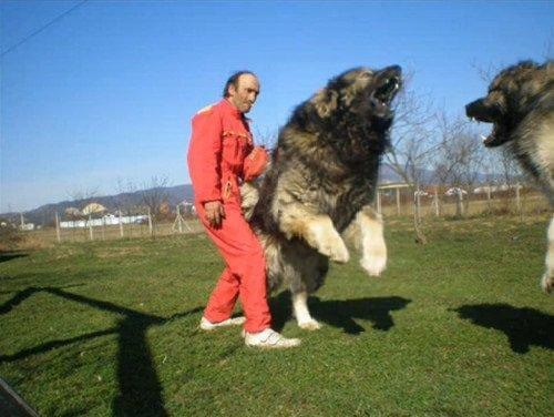 caucasian mountain dog 6