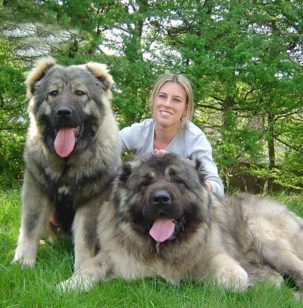 Caucasian Shepherd dog 7