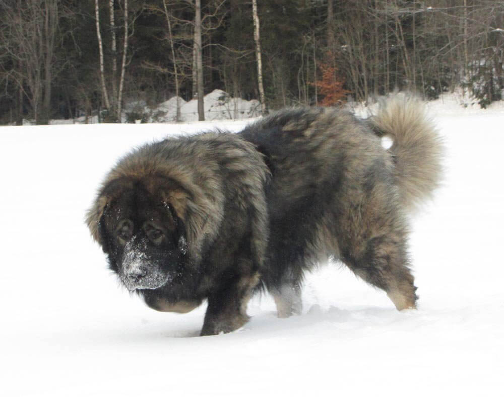 caucasian mountain dog 8