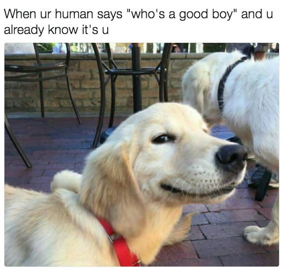 dog memes26