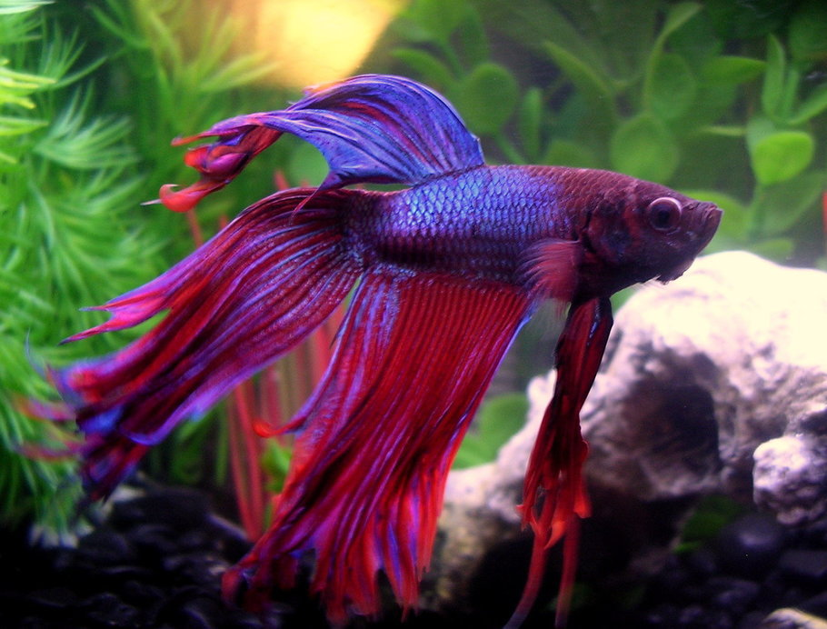 most beautiful betta fish in the world 12