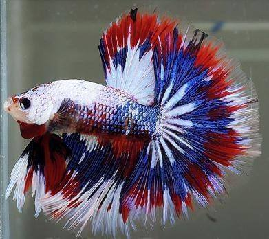 The Most Beautiful Betta Fish In The World Is So Good ...