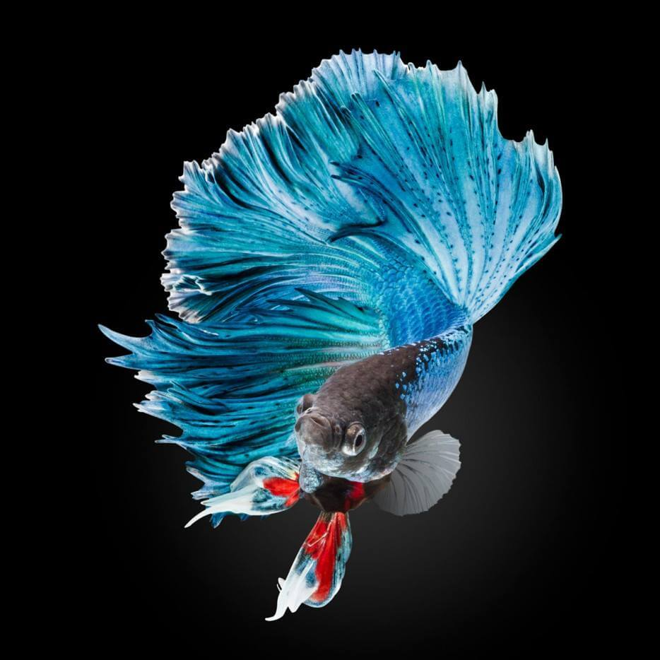 most beautiful betta fish in the world 3