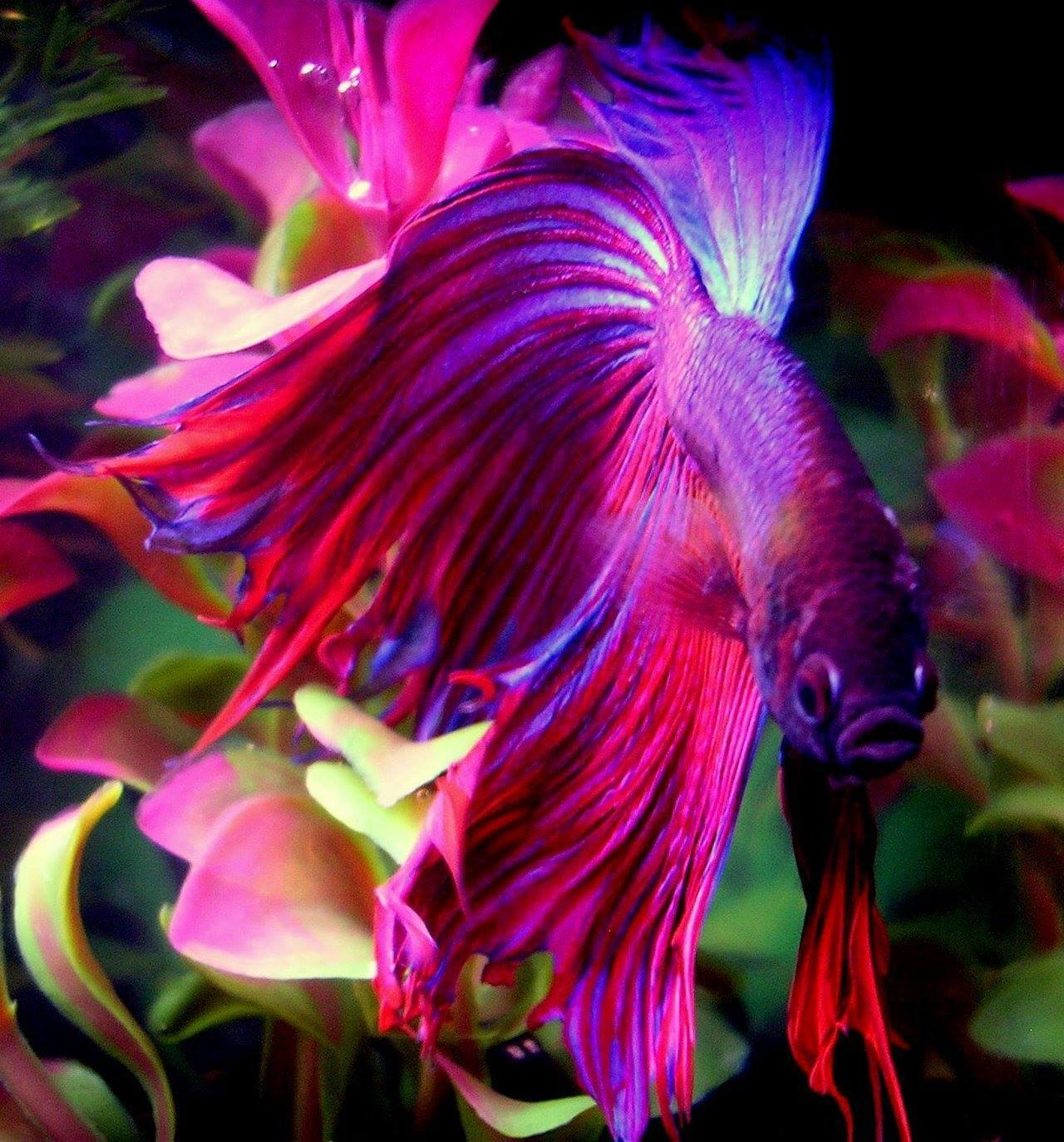 most beautiful betta fish in the world 4