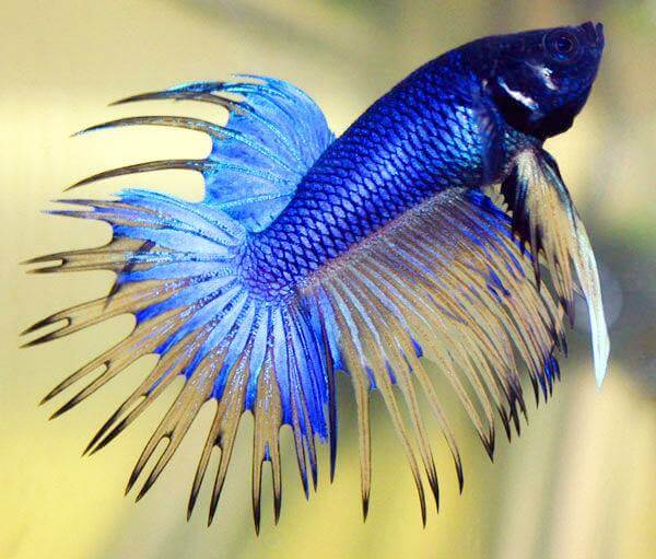 most beautiful betta fish in the world 5