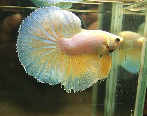 most beautiful betta fish in the world 7