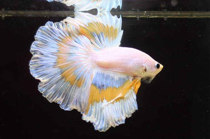 The most beautiful betta fish in the world is so good for Biggest betta fish