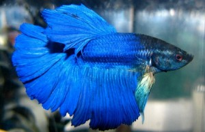 most beautiful betta fish in the world feat