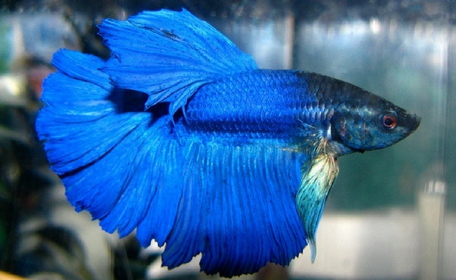 The most beautiful betta fish in the world is so good for Is fish good for you