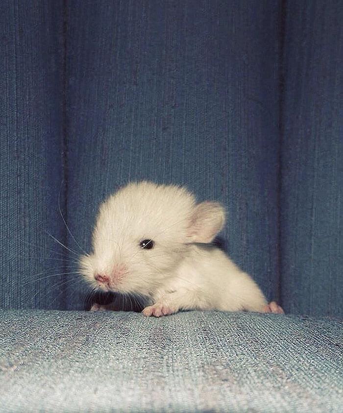 tiny Chinchilla 27