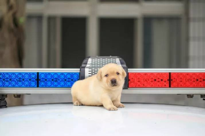 New Taipei Police Department k9 unit puppies 12
