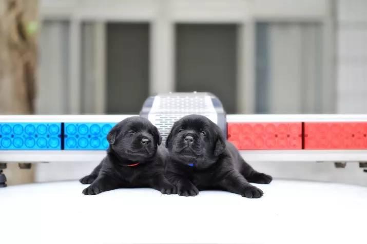 New Taipei Police Department k9 unit puppies 4