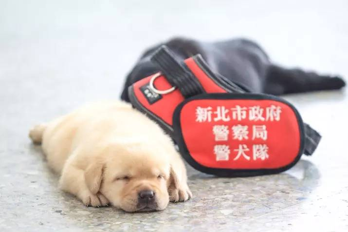 New Taipei Police Department k9 unit puppies 7