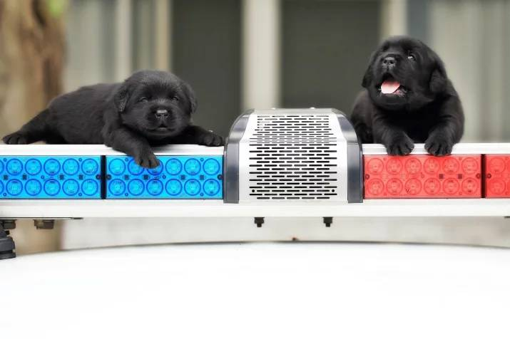 New Taipei Police Department k9 unit puppies 9