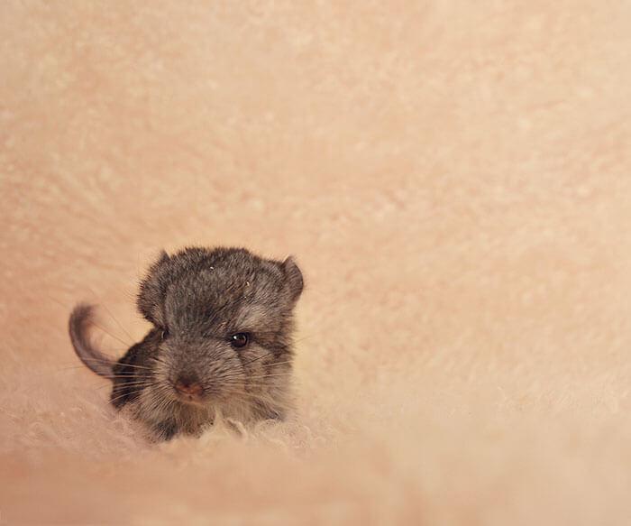 tiny chinchilla 17