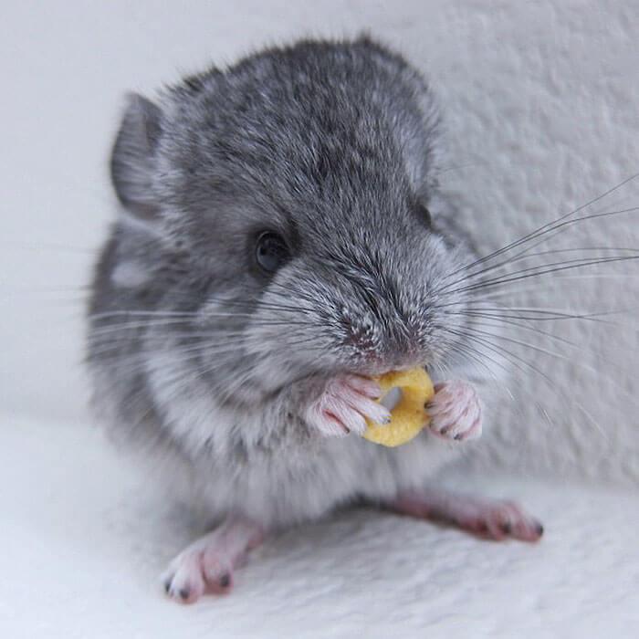 tiny chinchilla 18