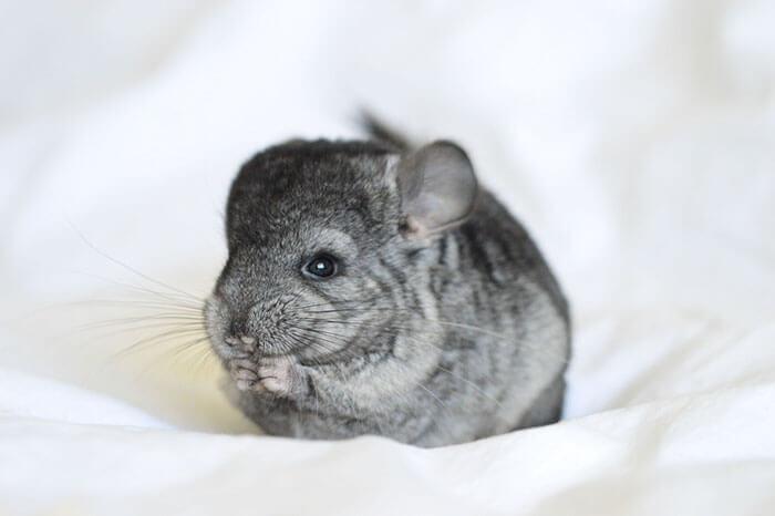 tiny chinchilla 19