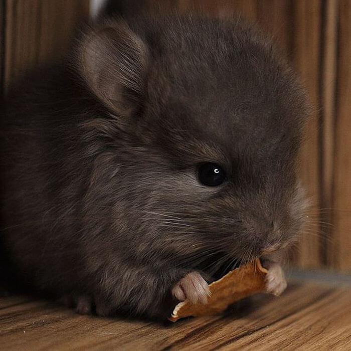 baby chinchilla 2