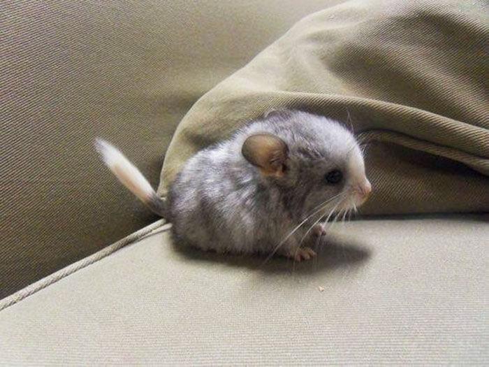 tiny chinchilla 20