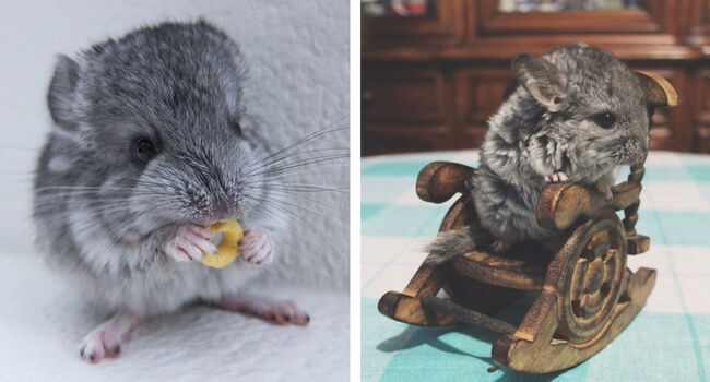 41 Cute Baby Chinchilla Pictures That Will Simply Destroy You With Cuteness