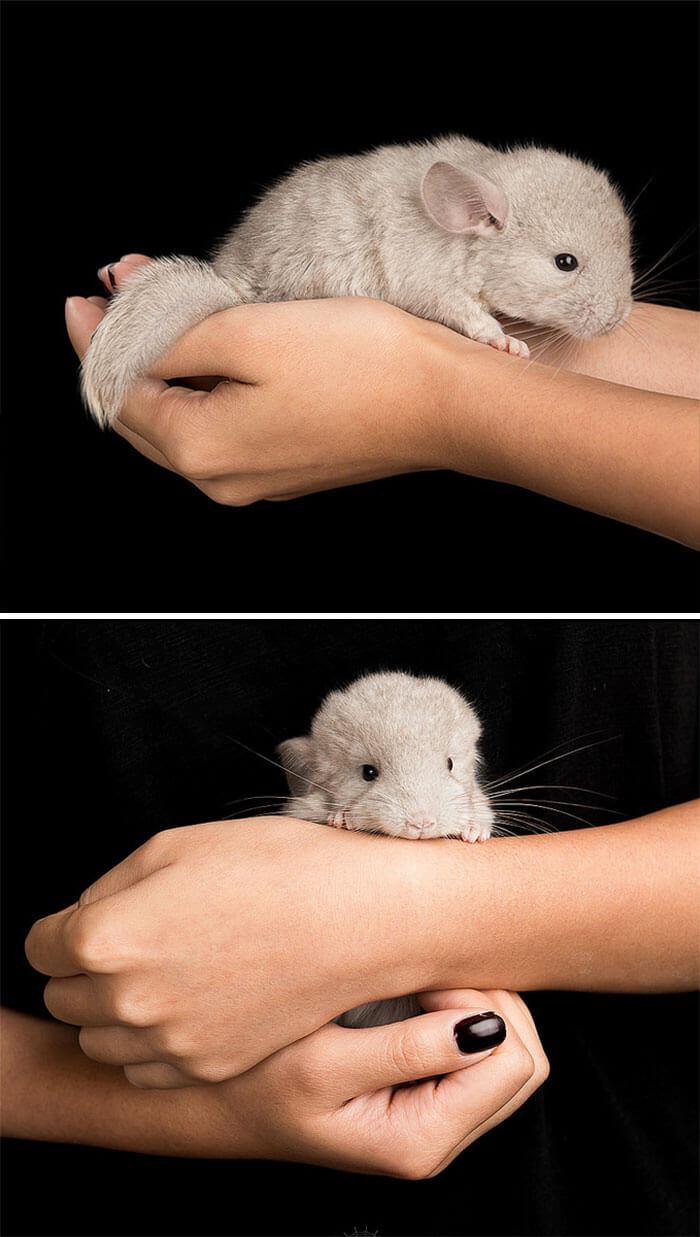 cute baby chinchillas 31 (1)