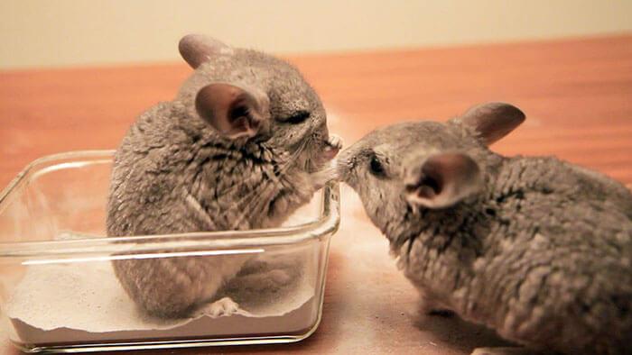 cute baby chinchillas 32 (1)
