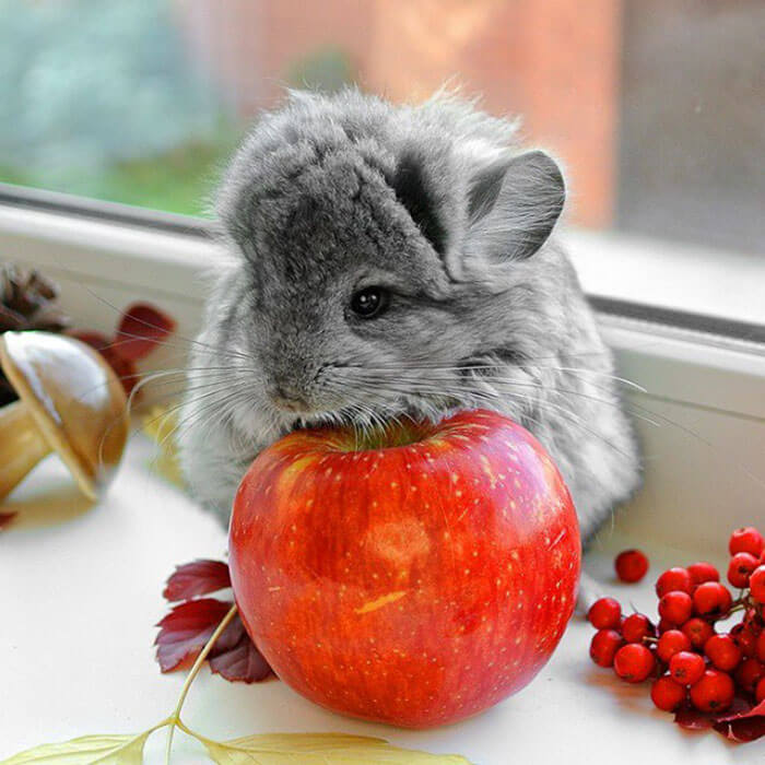 cute baby chinchillas 33 (1)