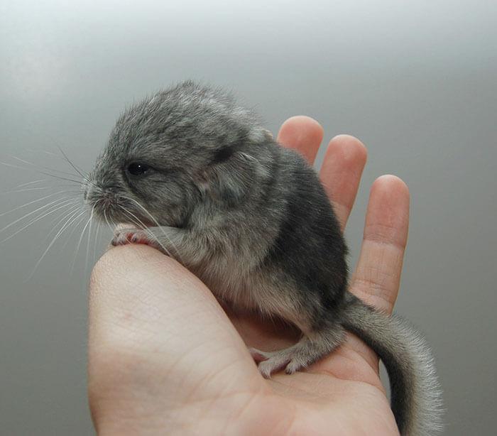 cute baby chinchillas 34 (1)