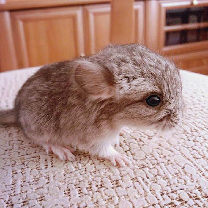 cute baby chinchillas 37 (1)