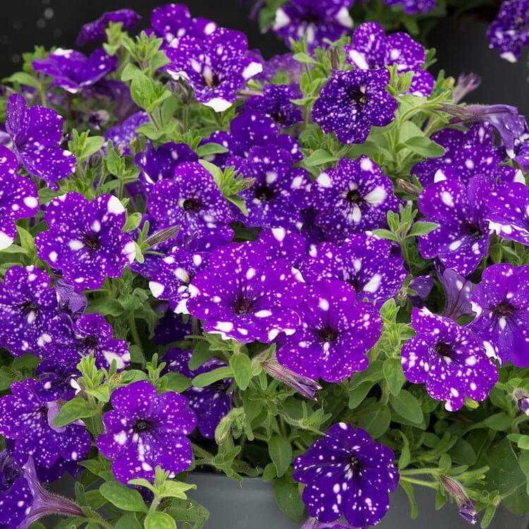 galaxy flowers 16