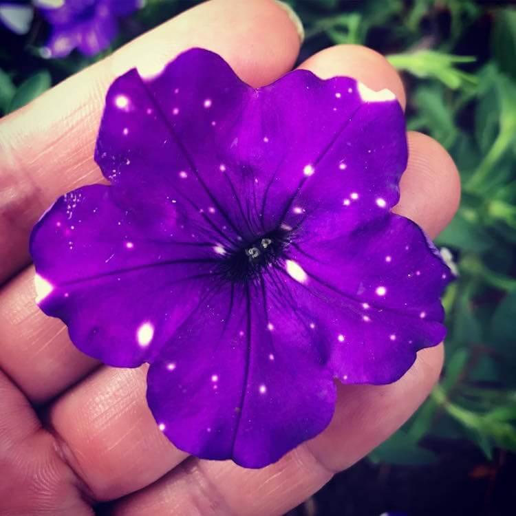 ight Sky Petunia 5
