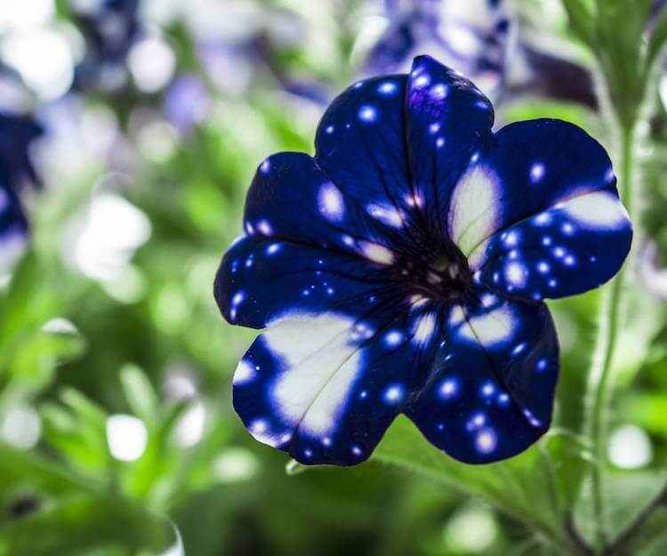 ight Sky Petunia 6