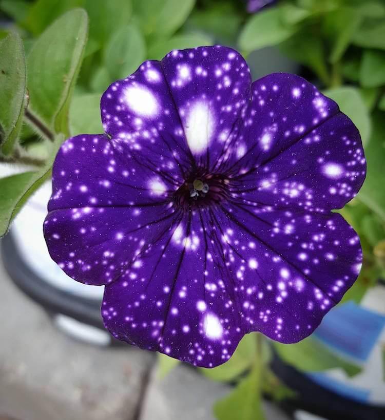 ight Sky Petunia 8
