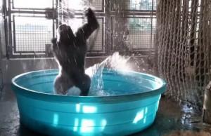 gorila in the pool feat (1)