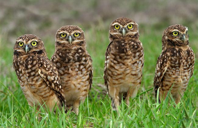 group-of-owls-parliament-burrowing-owls