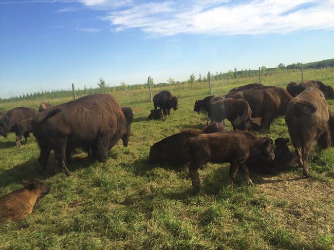 rsz_bisons