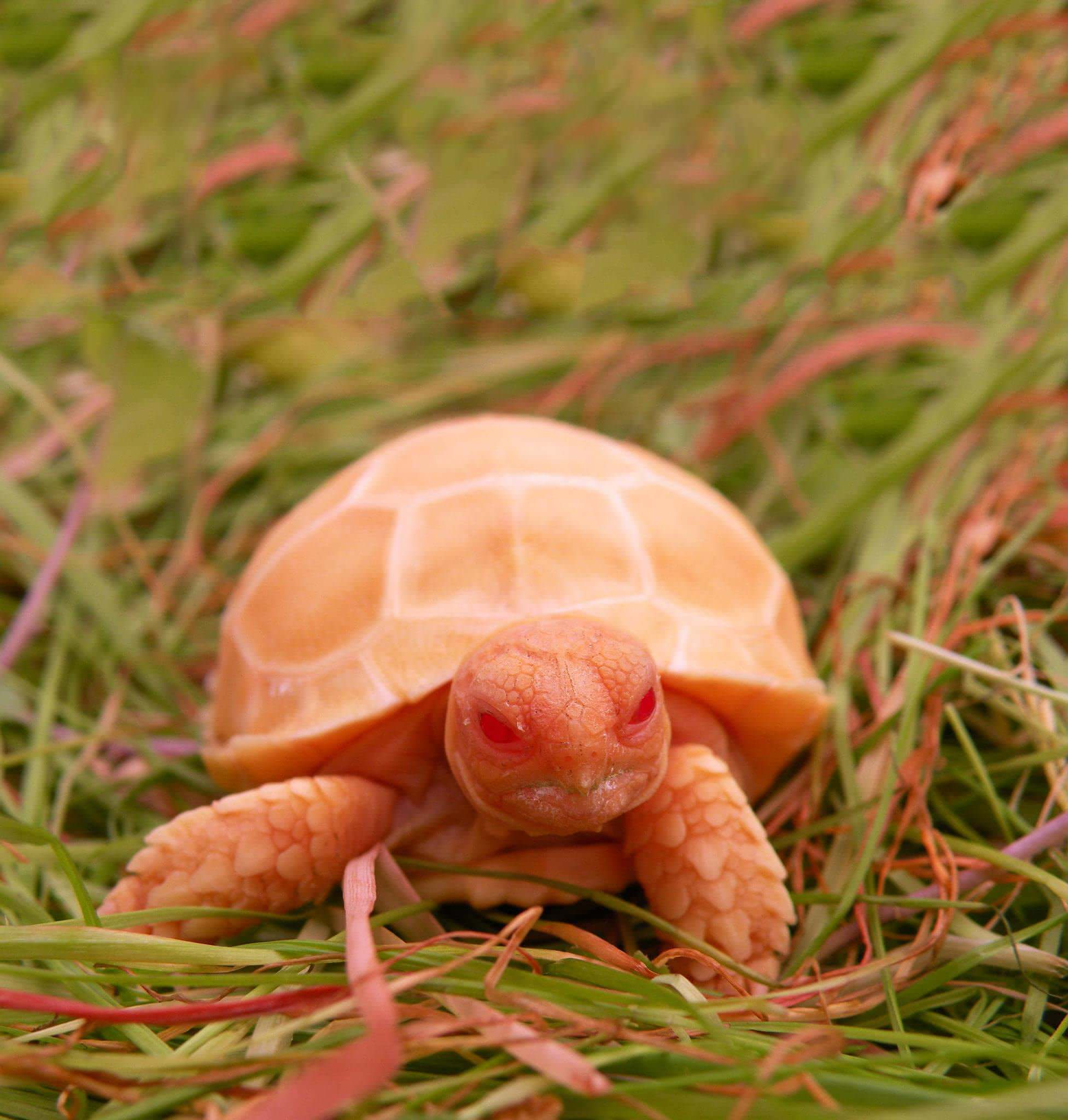 Albino Sulcata Tortoise Are The Next Cutest Thing You Will