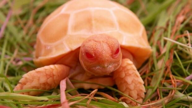 albino tortoise feat (1)