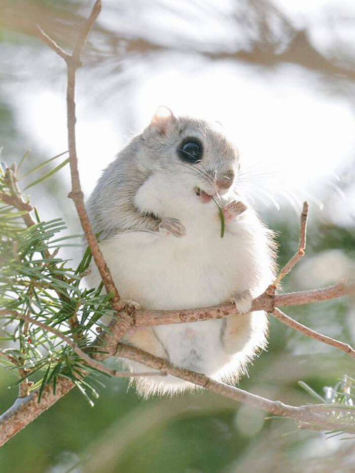 baby japanese dwarf flying squirrel (1)