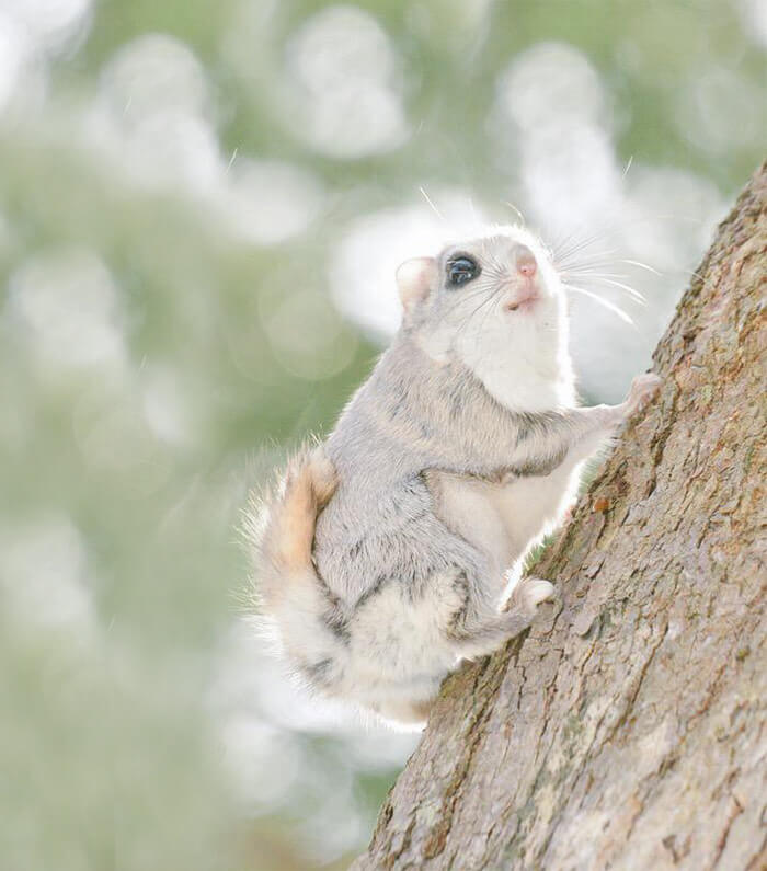 baby dwarf flying squirrel 10 (1)