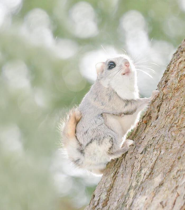 baby dwarf flying squirrel 10 (1)