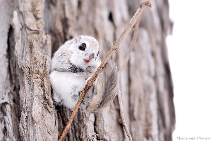 baby dwarf flying squirrel 11 (1)