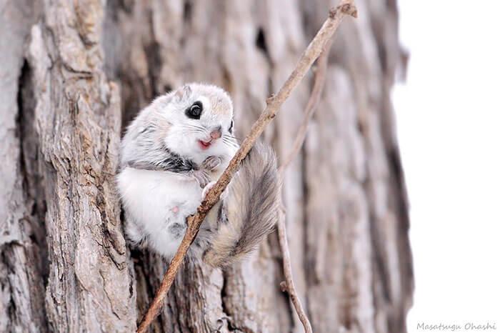 baby dwarf flying squirrel 11 (1)