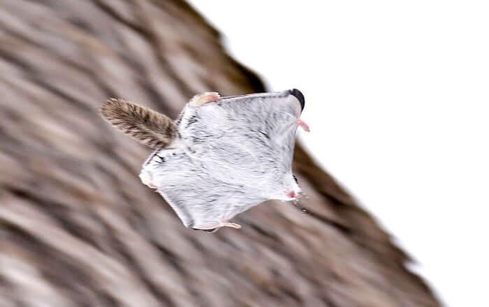 baby dwarf flying squirrel 12 (1)