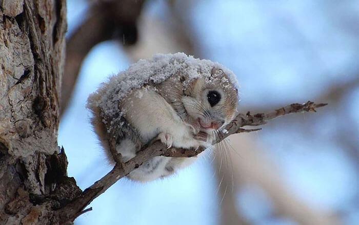 baby japanese dwarf flying squirrel 2 (1)