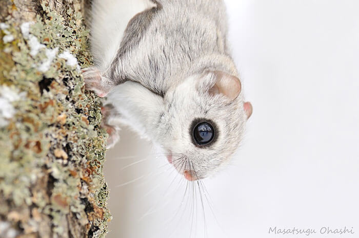 baby dwarf flying squirrel 4 (1)
