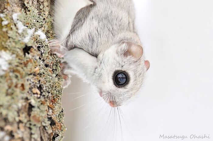 baby dwarf flying squirrel 4 (1)